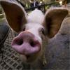 Rosja: Świnie będą wykrywać pirotechnikę?