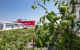 Kalifornia: Levi's Stadium ma uprawę warzyw na dachu