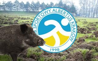 Kraków: Dziki zniszczyły boisko, klub w rozpaczy